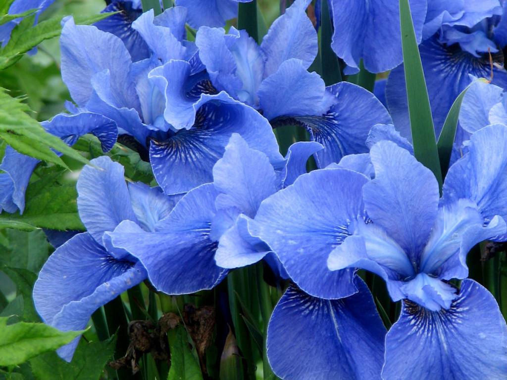 flowers-blue-iris